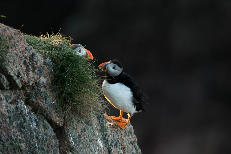 Animal Themes Animals In The Wild Beak Beauty In Nature Bird Close-up Flying Focus On Foreground Looking Multi Colored Nature No People Non-urban Scene One Animal Parrot Perching Puffin Rock Formation Tree Trunk Wildlife Zoology