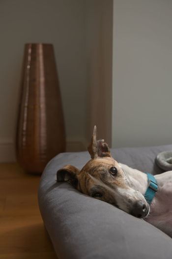 Big brown eye glistens as this rescue dog, a pet greyhound, looks directly into the camera