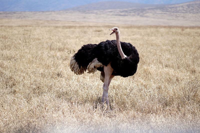Ostrich bird on field with open beak