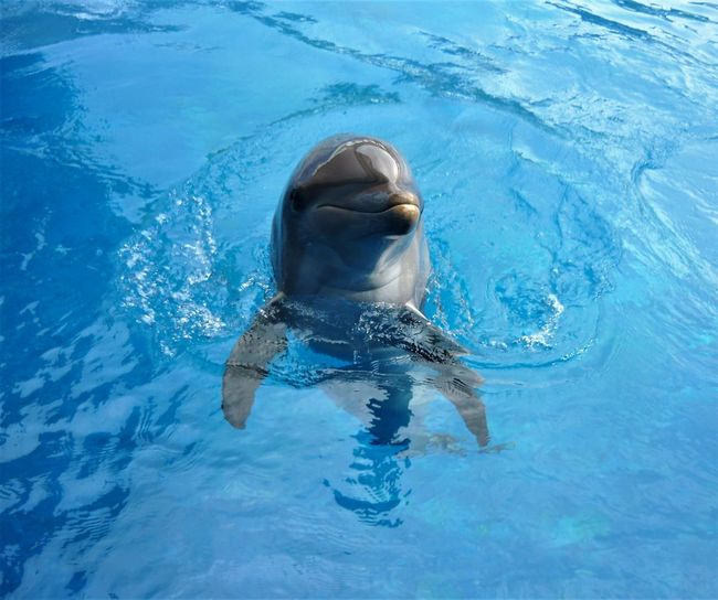 Animal Themes Blue Dauphin Day Delfiini Delphin Dolfijn Dolphin Golfinho Mammal Nature One Person Outdoors People Scrutantem Delphina Uident Swimming Swimming Pool Water Yunus δελφίνι делфин дельфин 海豚