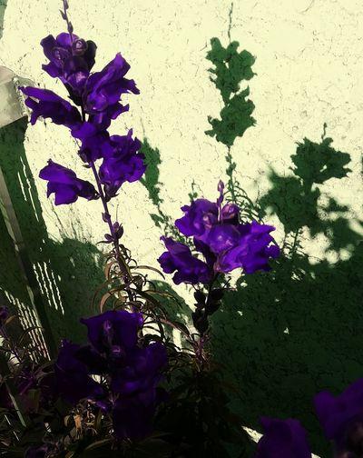 Purple Flower Beauty In Nature My Beautiful Garden Shadows Of Flowers Long Ago, Purple Velvet,