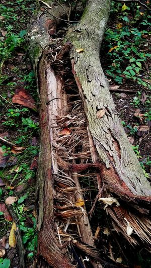 Weathered Wood Old But Beautiful Nature Nature Photography Nature Reclaims It's Own Nature_collection EyeEm Nature Lover Tree Tree Stump Woods Tree Trunk Fallen Tree Dead Tree