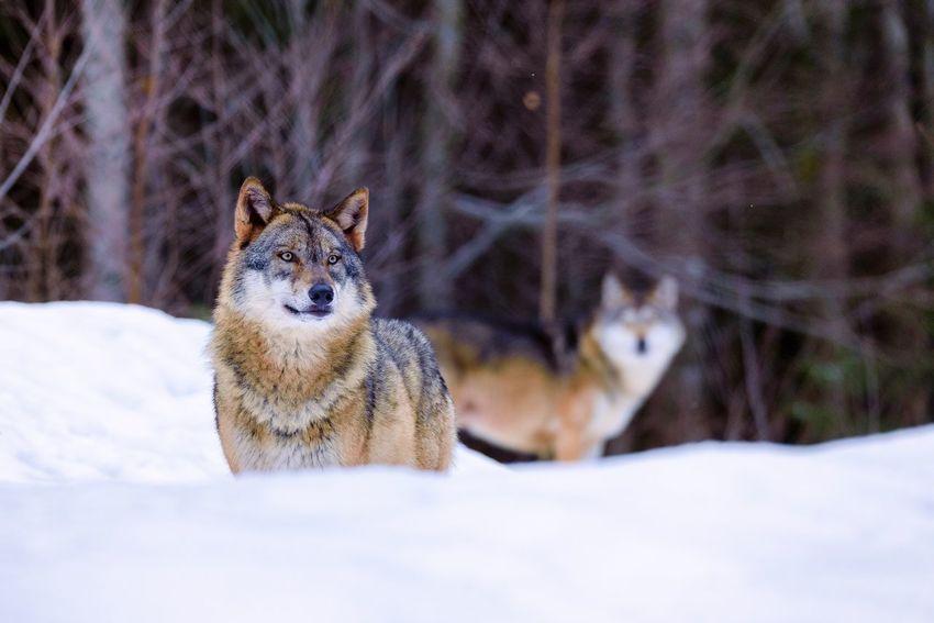 Wolf Lupus Lupus Snow Cold Temperature Animal Themes Animals In The Wild One Animal Nature Animal Wildlife Wolf