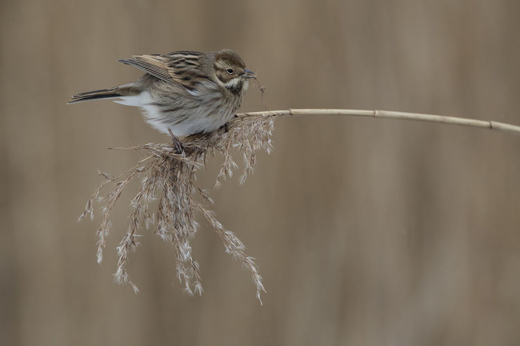 Reed Bunting Feeding  RSPB Ham Wall Animals In The Wild Bird Close-up Nature No People Reed Bunting First Eyeem Photo