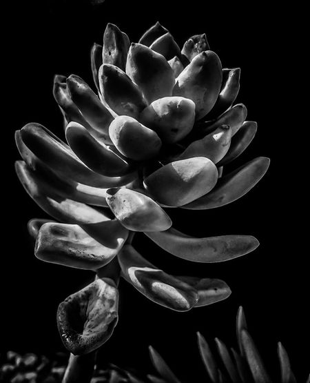 Succulent [B & W] EyeEmNewHere Shootermag Taking Photo Taking Pictures Taking Photos Plants And Flowers Plants 🌱 Plant EyeEm Gallery EyeEm Masterclass Beauty Beauty In Nature EyeEm Gallery Eyeemphotography EyeEm EyeEm Nature Lover EyeEm Best Shots EyeEm Best Shots Edit Choatephotos Choatgrapy Close-up Garden Garden Photography Urban Landscape Urban Exploration Urban Succulents Urban Exploration EyeEm Ready   EyeEmNewHere