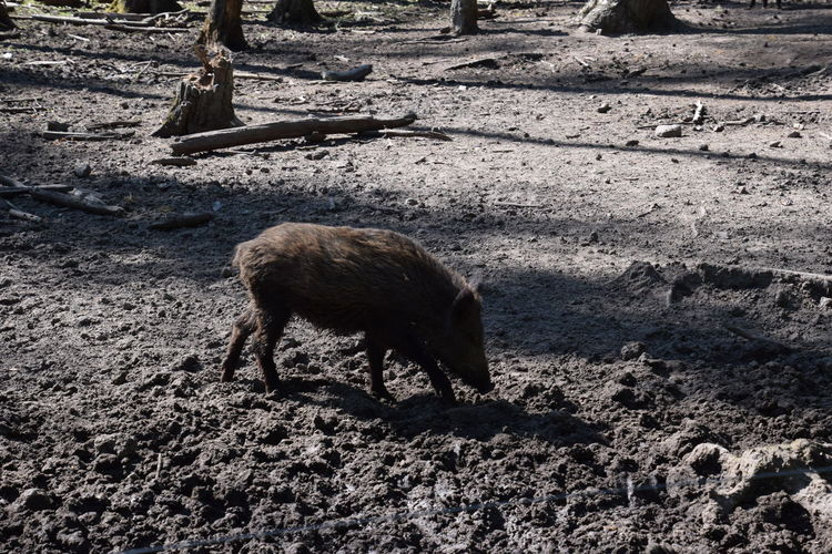 View of wild boar in forest