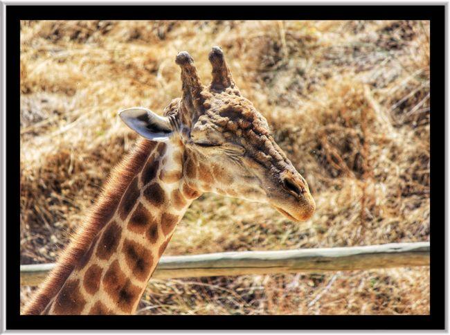 Giraffe Giraffes Giraffe♥ Giraffe ♡ Giraffa Giraffes! Giraffe Head Giraffe Close Up Giraffe Smiling 😊 Giraffe Face Close Up Of Giraffe Face Wildlife Park Wildlifephotography Wildlife & Nature Wildlife Beautiful Animals  Wildlife Photograhy Wildlife Closeup Wildlife Photography