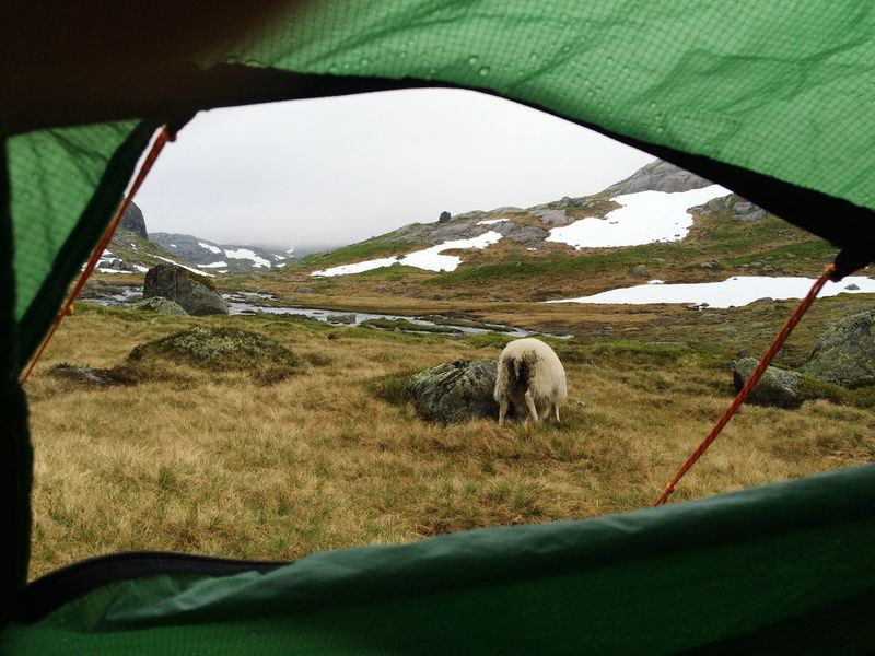 Miles Away Animal Themes Grass Landscape Mammal Domestic Animals Grazing Field Nature No People Livestock One Animal Day Green Color Sheep Sky Pasture Outdoors Beauty In Nature Mountain Nature Photography Photography Norway Kjerag Hiking