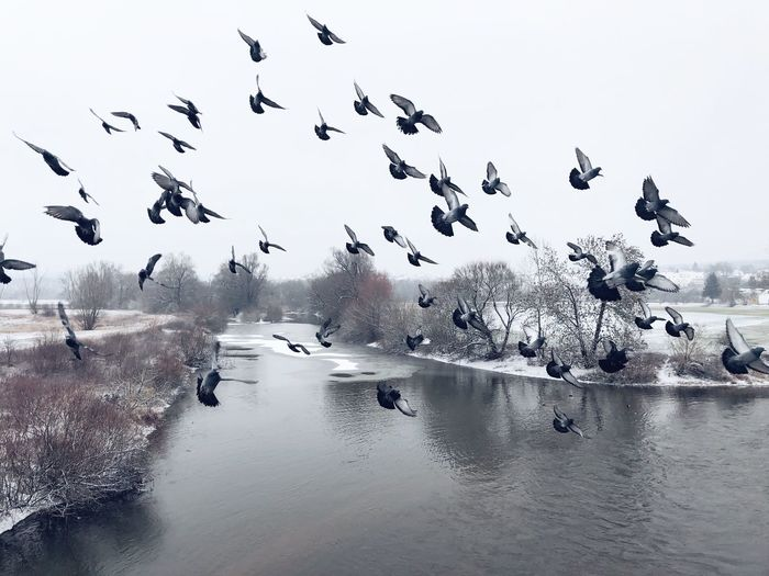 B I R D S Winter River Attack Group Swarm Swarm Of Birds Attack Birds Bird Pigeons Pigeon Water Bird Group Of Animals Large Group Of Animals Vertebrate Nature Animals In The Wild Animal Wildlife Animal Themes Flock Of Birds Sky Animal Beauty In Nature Flying No People Day Scenics - Nature Mid-air Outdoors The Photojournalist - 2019 EyeEm Awards The Mobile Photographer - 2019 EyeEm Awards The Great Outdoors - 2019 EyeEm Awards The Minimalist - 2019 EyeEm Awards The Street Photographer - 2019 EyeEm Awards My Best Photo The Traveler - 2019 EyeEm Awards