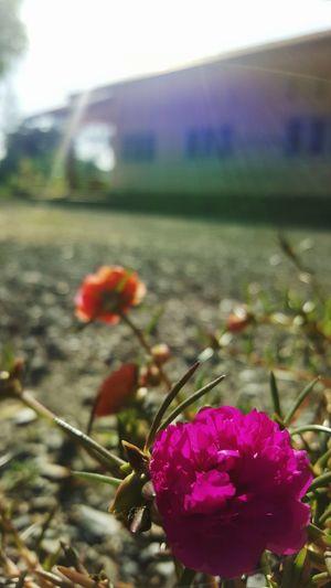 little hogweed Pink Flower Sunlight Noon Hot Spring Verdolaga Little Hogweed Common Purslane Pigweed Sun Plant Pusley Hot Glare Flower Flower Head Water Close-up Plant Sky Wildflower