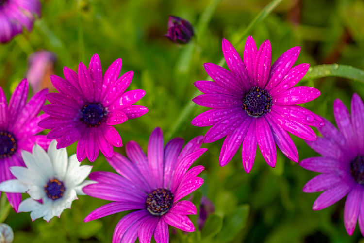Flower Flowering Plant Fragility Vulnerability  Growth Freshness Petal Plant Flower Head Inflorescence Beauty In Nature Close-up Focus On Foreground Nature Osteospermum Day Pollen Pink Color No People Purple Outdoors