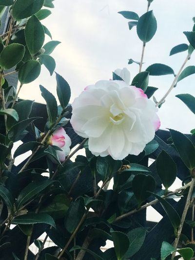 Camellia Camellia The Power Of Flowers Melbourne Plant Flower Flowering Plant Growth Beauty In Nature Freshness Nature Day Leaf Tree Blossom Outdoors