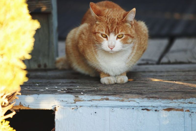 EyeEm Selects Domestic Cat Feline Animal Themes Domestic Animals One Animal Pets Outdoors Looking At Camera Close-up Mammal