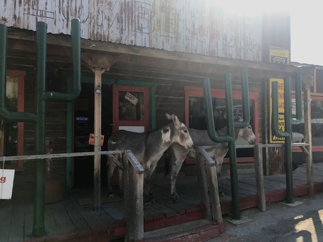 Domestic Animals Mammal Animal Themes No People Indoors  Pets One Animal Donkey Burros Western Town Day