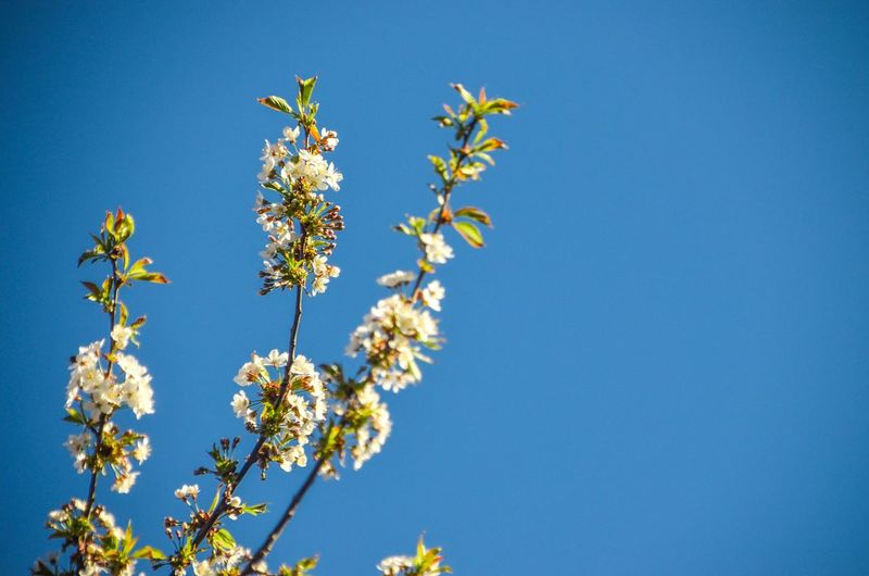 Flowers. #flowers #spring #bluesky #tree EyeEm Selects Flower Head Tree Flower Clear Sky Branch Blue Springtime Blossom Sky Close-up Cherry Blossom Apple Blossom In Bloom Botany Blooming Pollen Fruit Tree Plant Life Cherry Tree