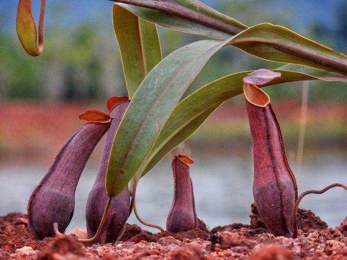 Nephentes Kantong Semar Plant Nature Naturelovers
