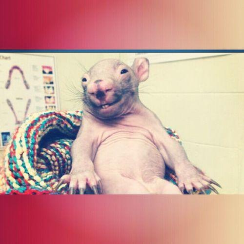 Babywombat Australia Found Happyend Goodmorning Coffeetime cute smile ?????