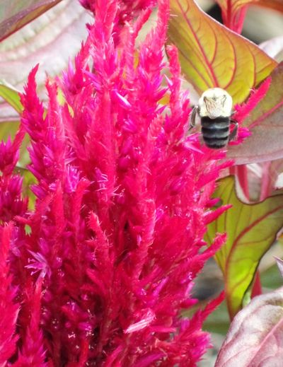 Bumblebee and Celosia No Filter Bumblebee Insect Flowers And Insects Celosía Flower Flowers Flowers,Plants & Garden Flowers, Nature And Beauty Garden Garden Photography Macro Macro_collection EyeEm EyeEm Gallery EyeEm Best Shots EyeEmBestPics Eyeemphotography EyeEm Flower EyeEm Nature Lover EyeEm Best Shots - Nature Close-up Close Up Closeup