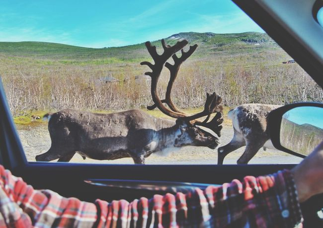 Learn & Shoot: Layering Raindeer Raindeers Mountains Northern Norway Finnmark Finnmarksvidda Driving View Window Europe Nordic Light Nordic Scandinavia Norway