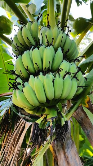 Banana Bananatree Banana Tree Banana Peel Nature_collection Green Nature Green Nature Beauty Nature Photography Nature