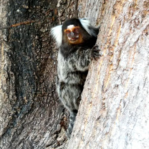 Monky Monkey Brazil Soinho