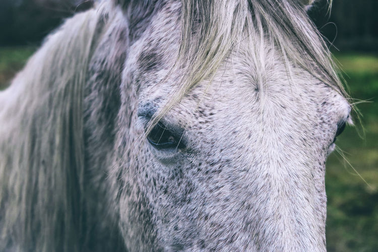 Close-up of icelandic horse on field