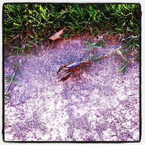 Saw this little guy outside behind my dorm room. I live in the middle of town...explanations anyone?? Crawdad MeanLittleSucker WhatThaHeck