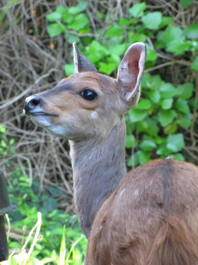 South Africa Storm River Mouth Duiker Close-up Portrait Animal Wildlife Animal Themes Animal Wildlife Animals In The Wild Deer One Animal No People Fawn Nature Focus On Foreground Animal Head  Outdoors Herbivorous Mammal Vertebrate
