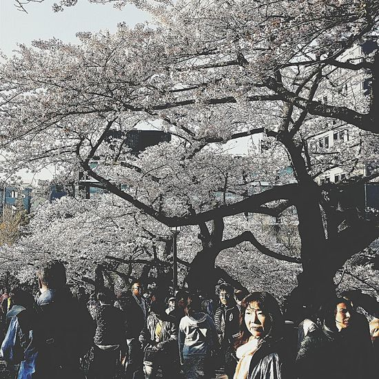 Street Photography Hanami Sakura Spring 2015 Tokyo Japan Travel Photography Cherry Trees Branches