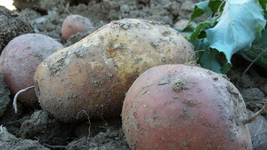 Unearthing potatoes in the countryside. Close-up Focus On Foreground Pebble Weathered Soil Day Nature Fragility Rock No People Geology Earth Eating Healthy EatHealthy Countryside Dirt Potatoes Beauty In Nature Growth Nature Plant The Week On Eyem Autumn Colours Autumn🍁🍁🍁 Gathering The Crop