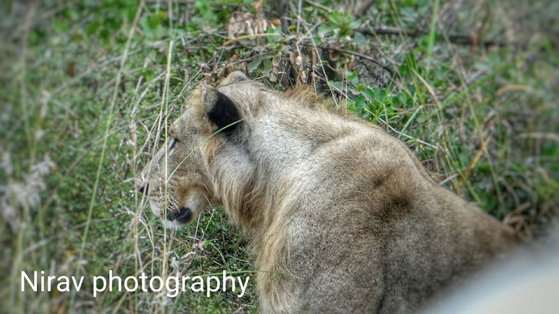 Nofilterneeded Picoftheday Loveforphotography Amazing Onpoint MyPhotography Lion Gamedrives Kingofthejungle