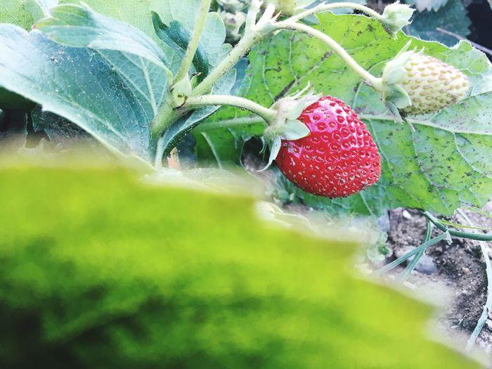 Fruit Strawberry Mountain Delicious