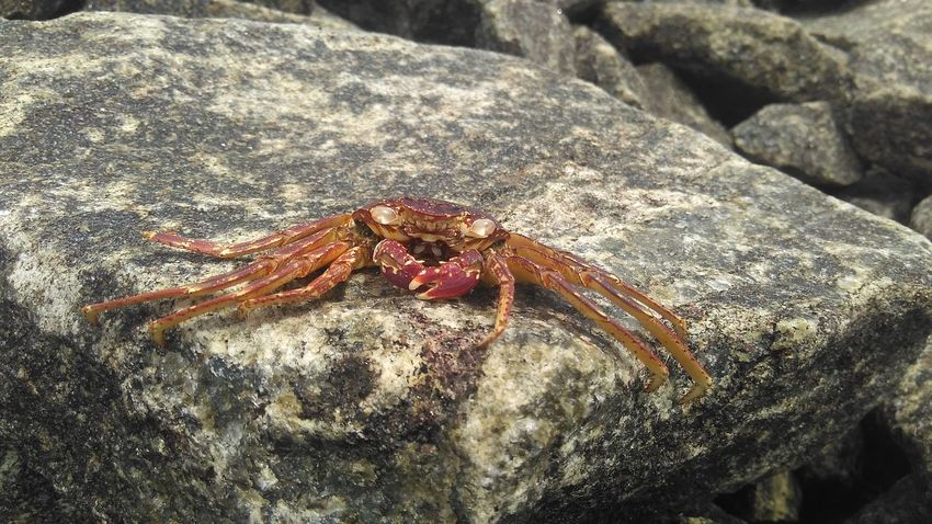 Animal Animal Wildlife Beauty In Nature Close-up Crab Day Focus On Foreground Natural Pattern Nature No People Outdoors Rock Rock - Object Sanku Photography Selective Focus Wildlife