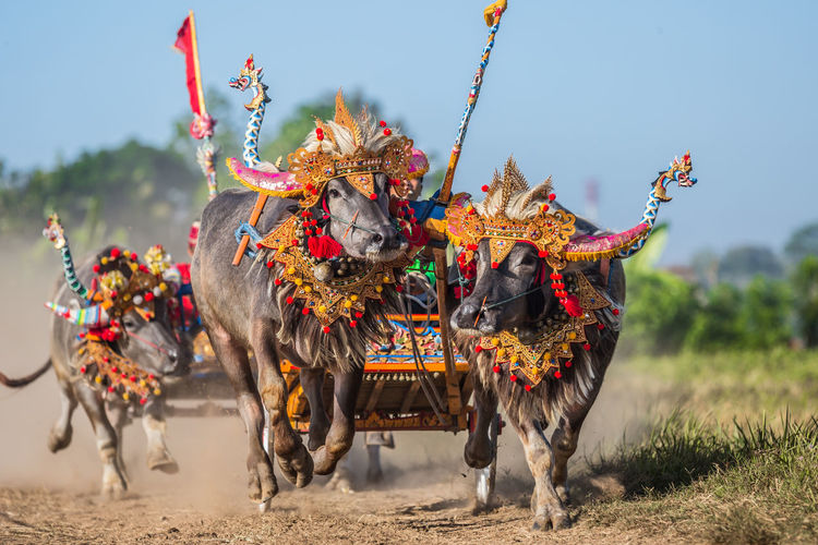 Bullock Cart Race On Dirt Road At Bali