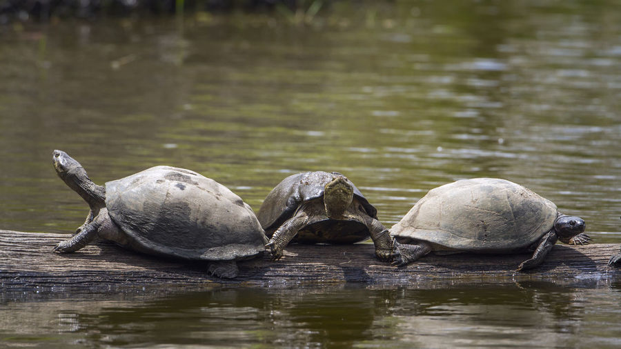 Turtles on log amidst lake