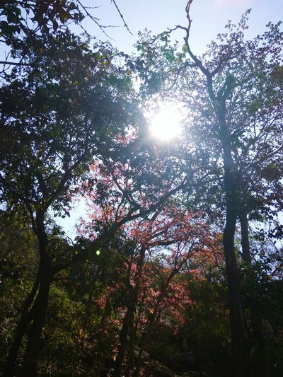 Trekking Life On Mountains Brightsun Denseforest Sunlight ☀ Peeping Sun Red Leaves🍂 Green Leaves Tall Trees Hot Summer Sky And Trees Mountains MountainLovers Eye Em Nature Lover EyeEm EyeEmNewHere