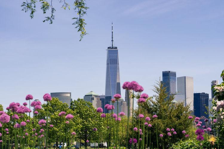 Pink flowering plants and buildings against sky
