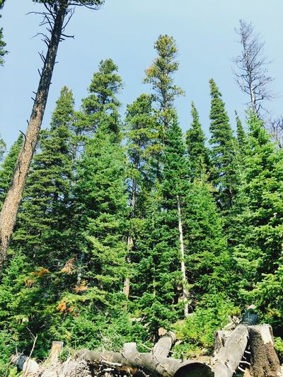 Tree Nature Green Color Growth Forest No People Day Beauty In Nature Outdoors Tranquility Tranquil Scene Low Angle View Scenics Tree Trunk Sky Mountain Rosevelt National Forest Colorado