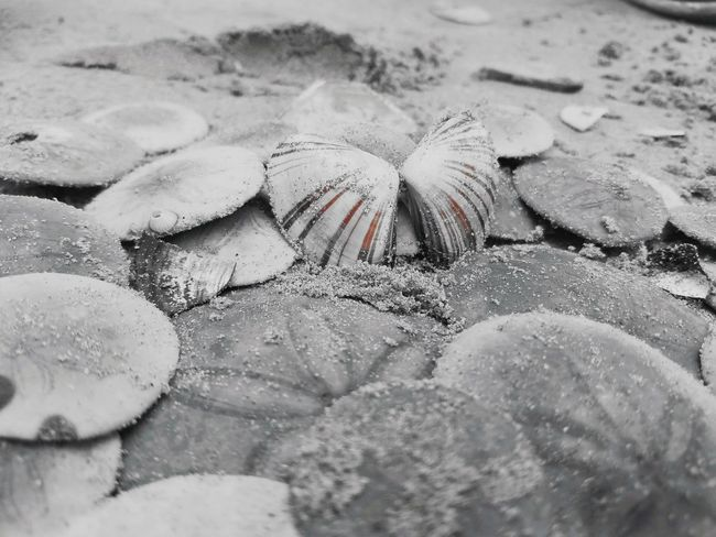 A capture of a picture can give the best shell of its color Shell Sanddollars Pismobeach Blackandwhite Photography Summerending