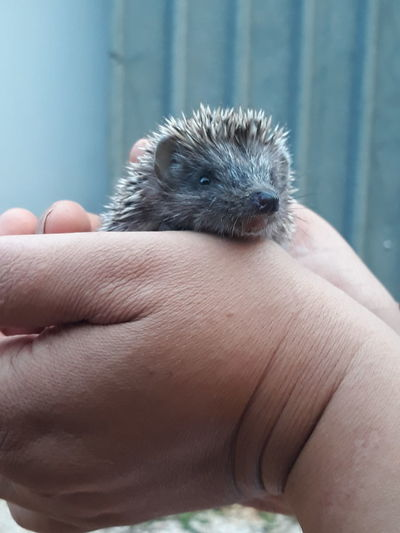 Cropped hands of person holding hedgehog