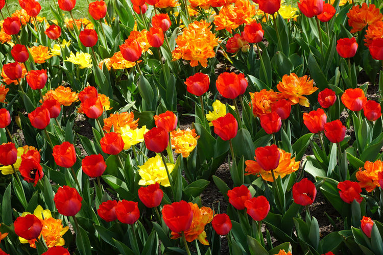 field with tulips Flower Flowering Plant Plant Beauty In Nature Fragility Vulnerability  Growth Petal Freshness Flower Head Inflorescence Close-up Orange Color Nature Land Field Red Green Color Day Full Frame No People Tulip Yellow Outdoors Springtime Tulips