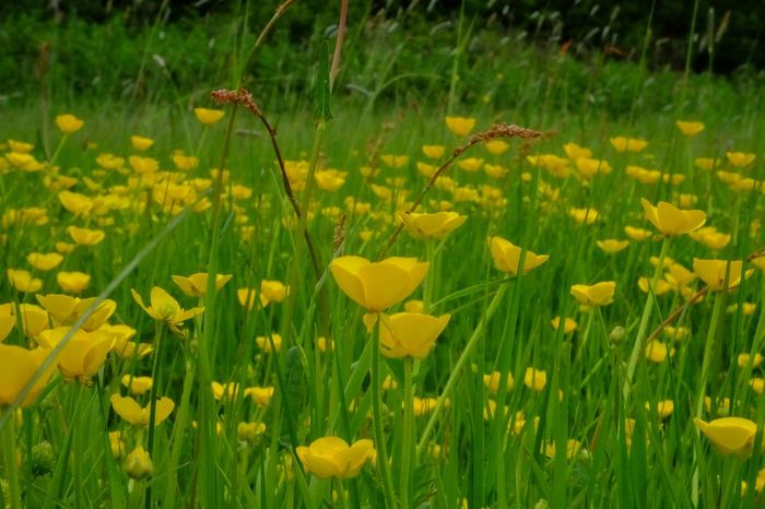 Buttercups In Full Bloom Meadow Flowers Buttercup Wildflower Colours Colourful Yellow Yellow Flower Meadow Flowers Englishcountryside Flower Flower Head Yellow Petal Field Grass Blooming Close-up Plant
