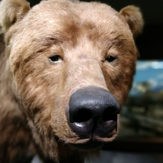 Bear Bear Portrait Looking At Camera Headshot Close-up Animal Body Part Animal Nose Snout Grizzly Bear