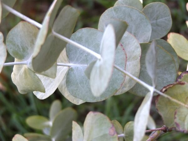 Beauty In Nature Botany Close-up Day Eucalyptus EyeEm Nature Lover Focus On Foreground Fragility Freshness Full Frame Garden Green Green Color Growth Leaf Leaf Vein Leaves Nature Outdoors Plant Scenics