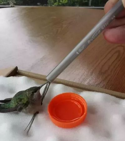 Hummingbird Rescue Hummingbird Resting Baby Hummingbird Hand Feeding A Hummingbird Hand Feeding Hummingbird Hummingbird Hummingbird On Finger Hummingbird Rescue Lost Hummingbird Saving A Hummingbird