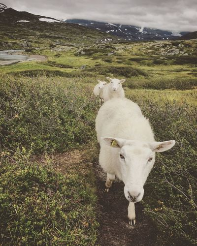 No People Beauty In Nature Norway ✌ Mountain Norway Sheep Hiking Domestic Animals Animal Themes Field Mammal Nature Landscape Livestock Grass One Animal Day Standing Outdoors Beauty In Nature Grazing Green Color Scenics Sky Full Length