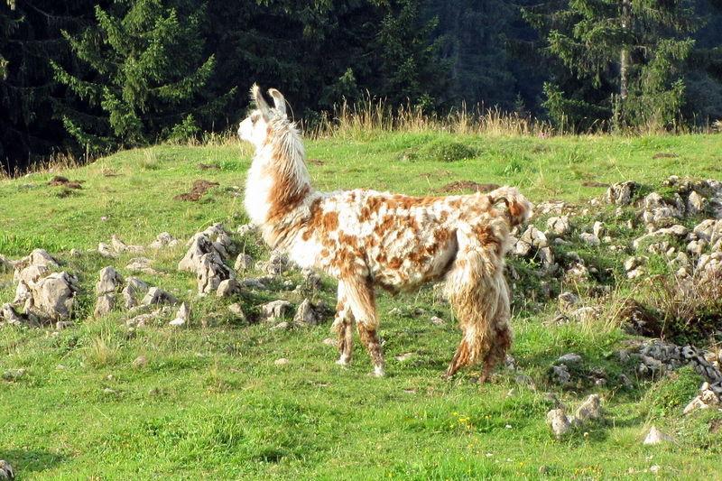 Lama Auf Der Stoibenmöseralm Bayern Lamaphotography Lama Animal Photography Animals Almwiesen Auf Der Alm Taking Photos Hello World Enjoying Life Mountain View EyeEm Gallery Animals Posing