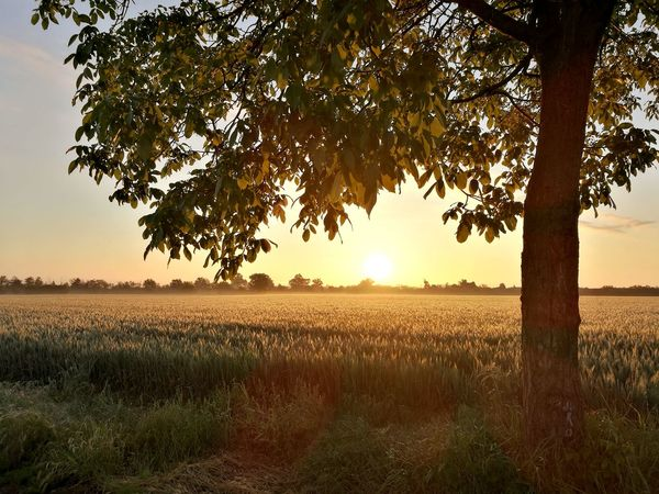 Tree Nature Sunset Field Landscape Rural Scene Agriculture Beauty In Nature Tranquil Scene Tranquility Sunlight No People Good Morning Silouette & Sky