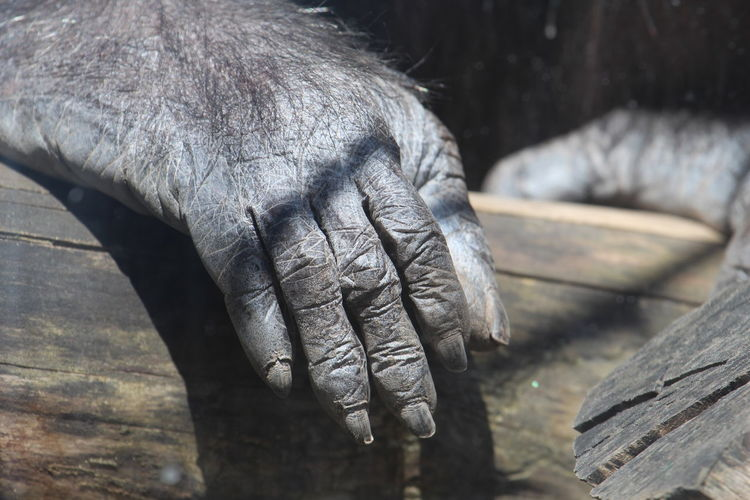 Close-up of cropped gorilla hand