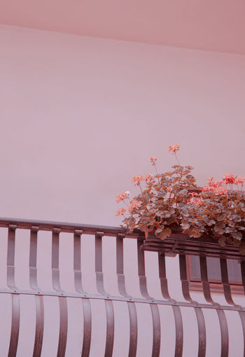 Close-up of pink cherry blossom on table against wall